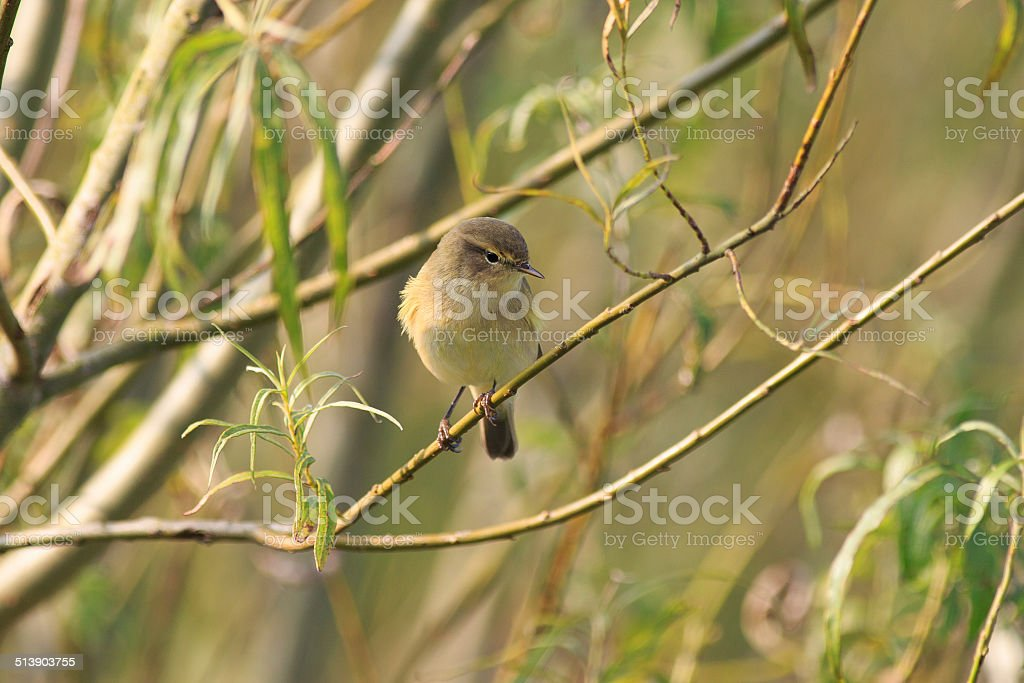 Chiffchaff perching in a Willow Tree stock photo