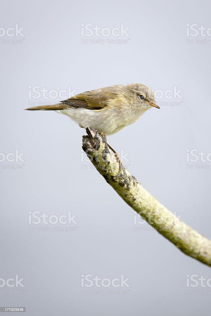 Chiffchaff (Phylloscopus collybita) stock photo