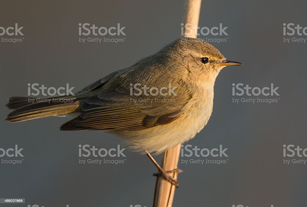 Chiffchaff, (Phylloscopus collybita) stock photo