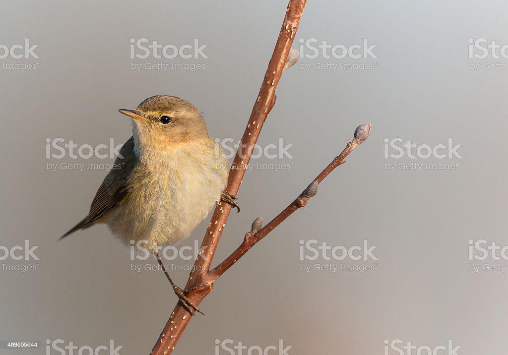 Chiffchaff, (Phylloscopus collybita) stock photo