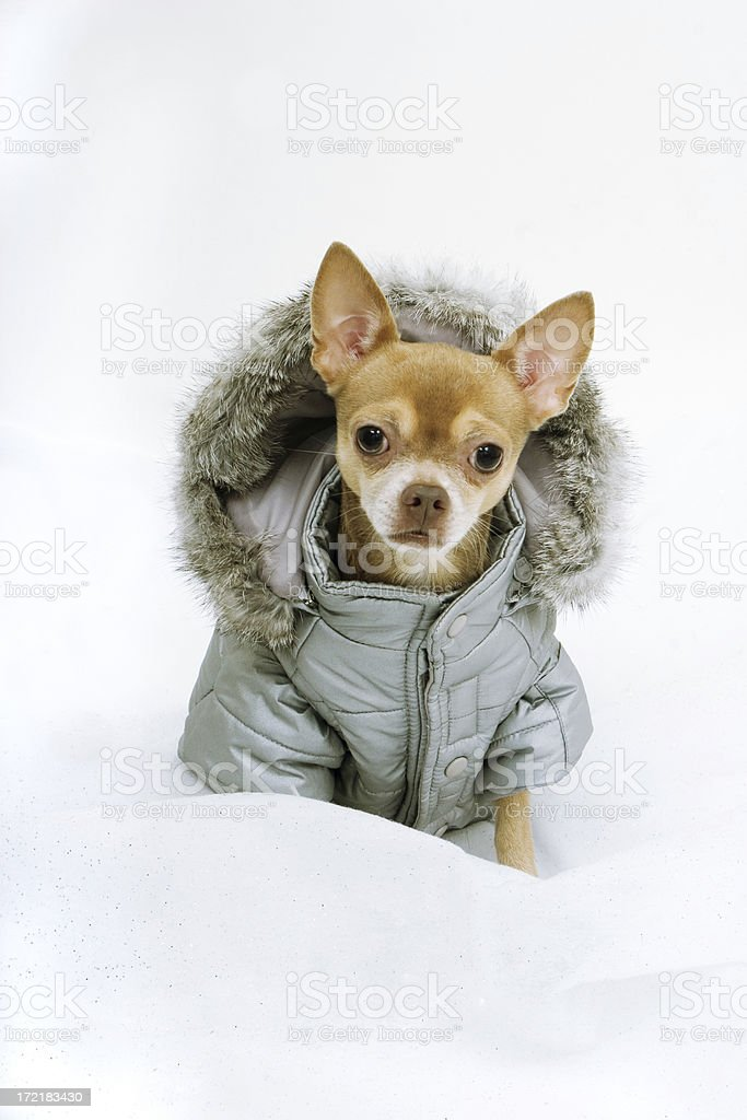 Chihauhau Wearing Winter Coat stock photo