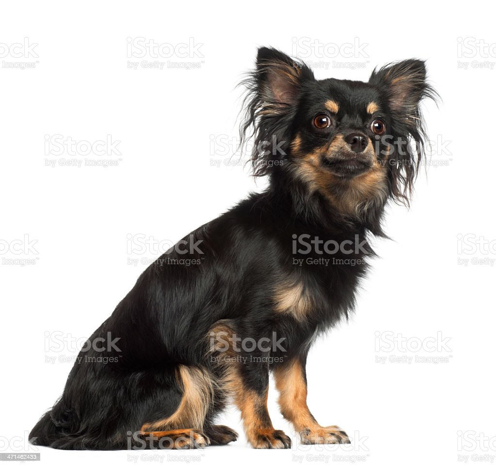 Chihuahua, 1 year old, sitting against white background stock photo