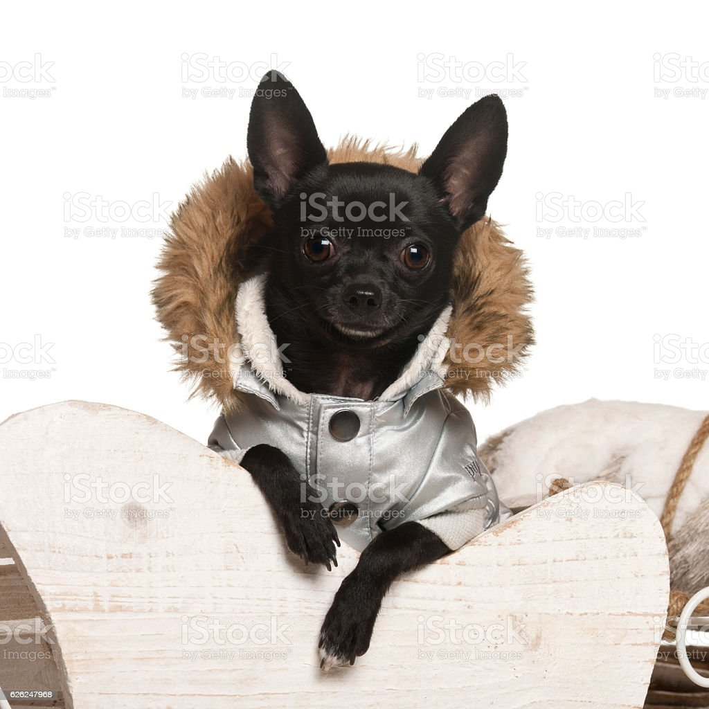 Chihuahua, 11 months old, in Christmas sleigh stock photo