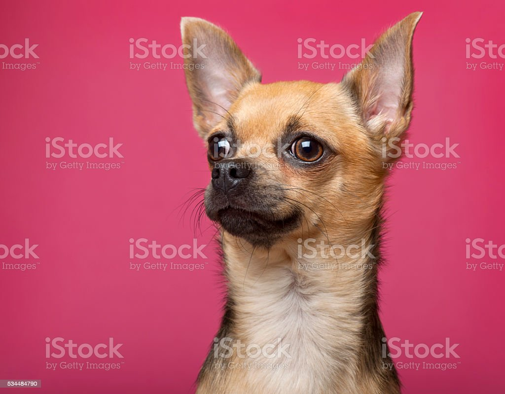 Chihuahua, 12 months old, in front of pink background stock photo