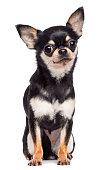 Chihuahua, 1.5 years old, sitting and looking at camera