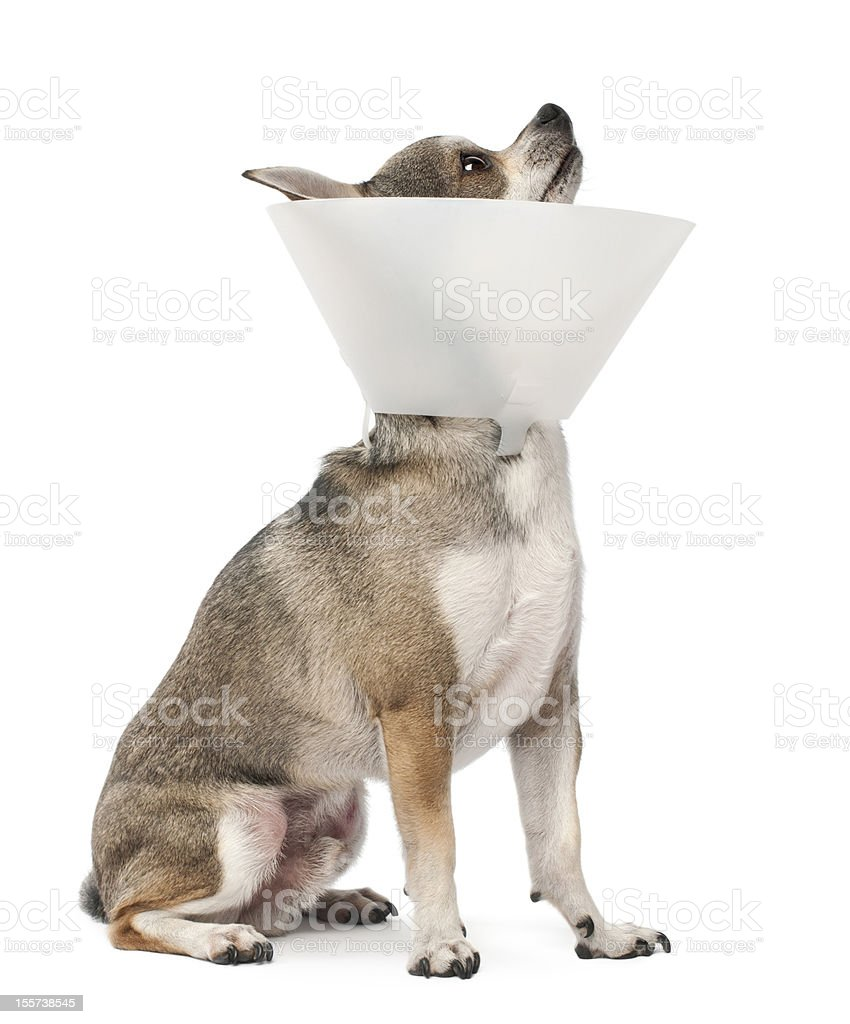Chihuahua, 4 years old, wearing a space collar stock photo