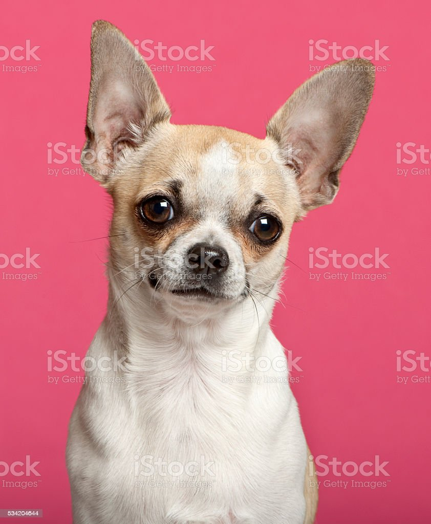 Chihuahua, 9 months old, in front of pink background stock photo