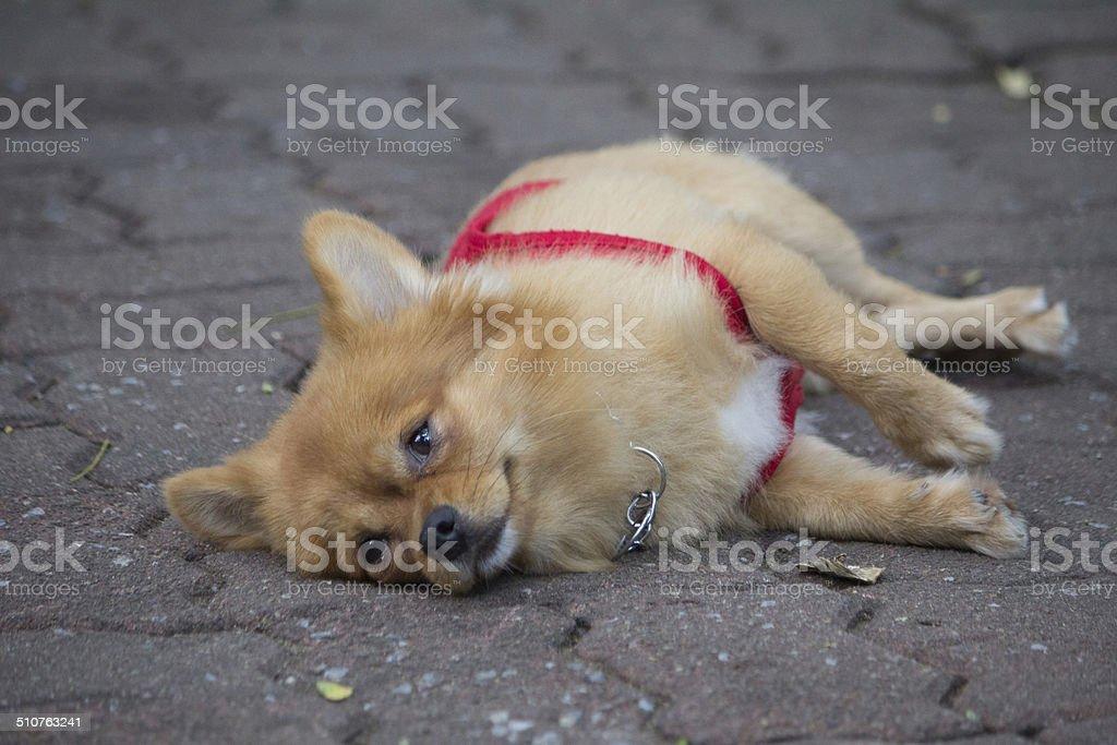 Chihuahua Action stock photo
