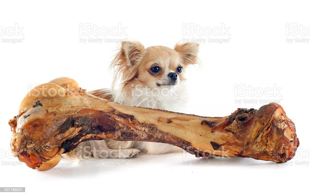 chihuahua and bone stock photo