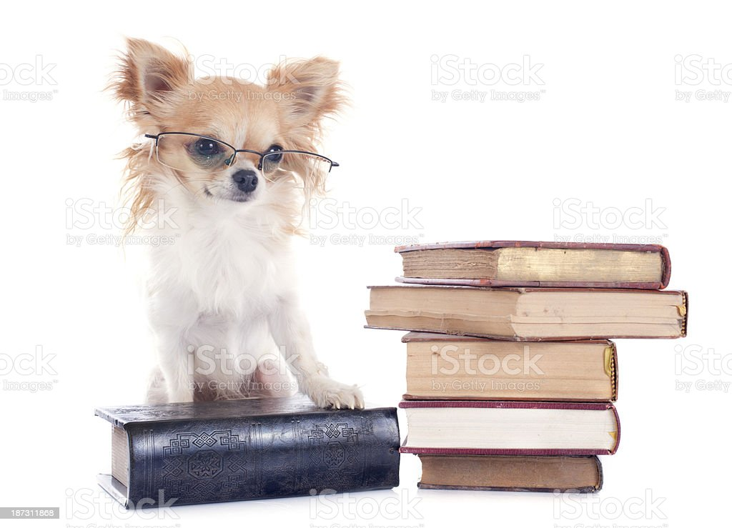 chihuahua and books stock photo