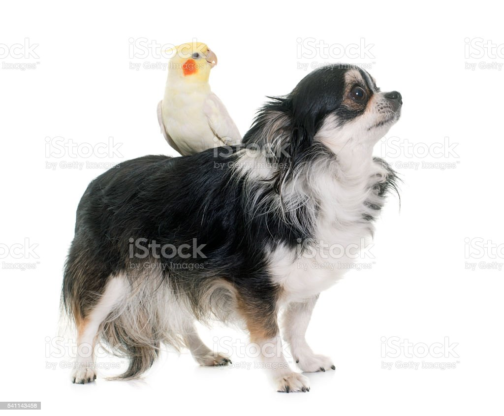 chihuahua and cockatiel stock photo