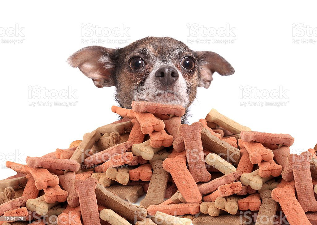 Chihuahua and dog biscuits stock photo