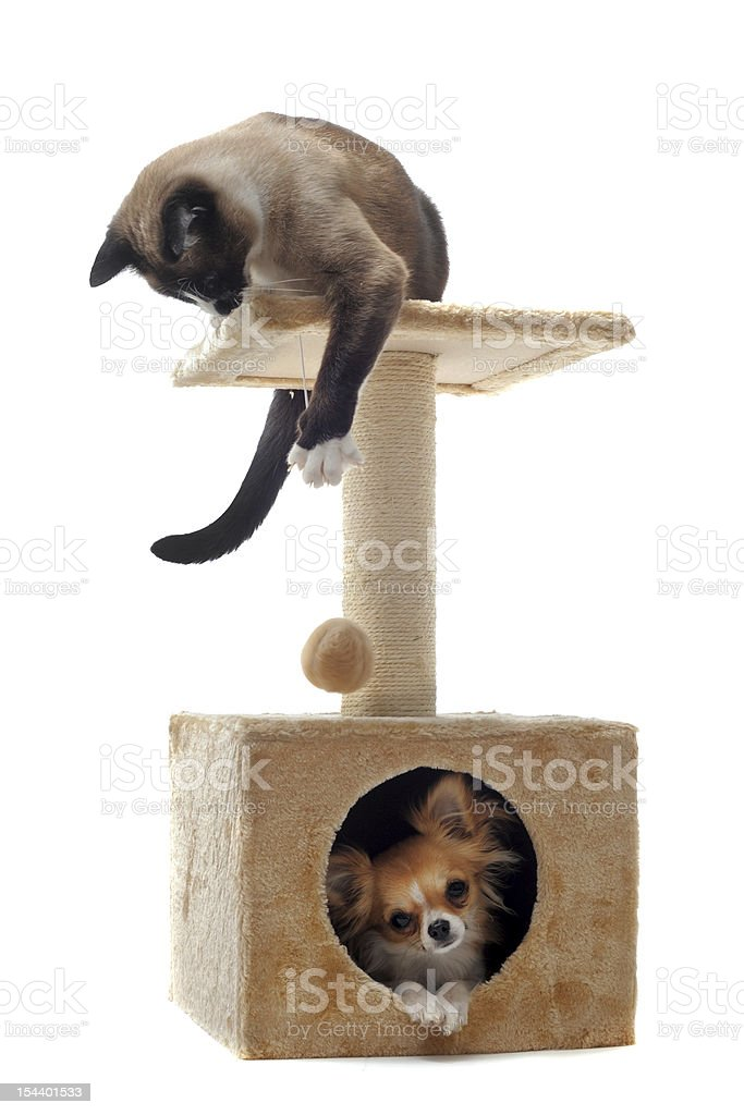 chihuahua and siamese cat stock photo