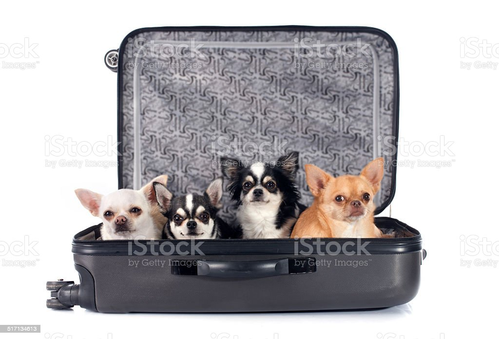 chihuahua and suitcase stock photo