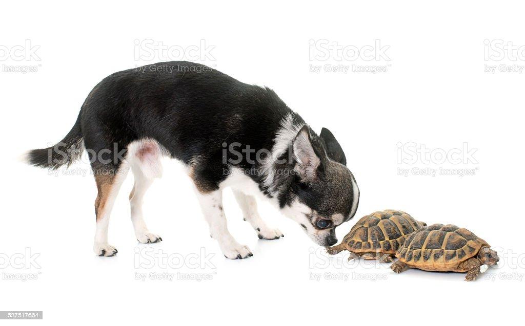 chihuahua and tortoise stock photo