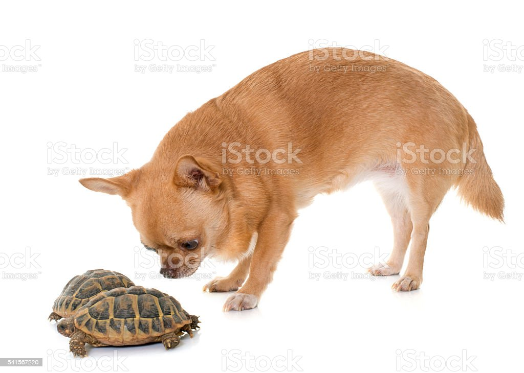 chihuahua and tortoise stock photo