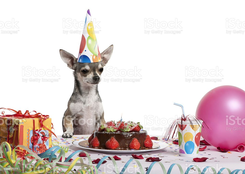 Chihuahua at table and looking to a birthday cake. royalty-free stock photo