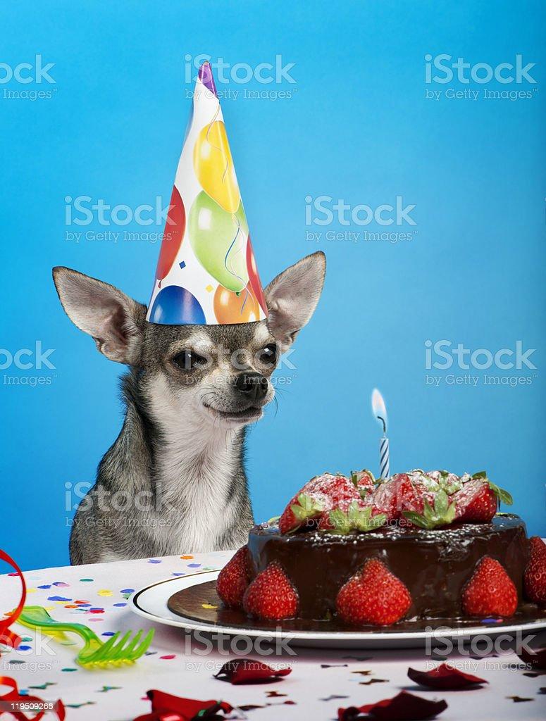 Chihuahua at table wearing birthday hat. royalty-free stock photo