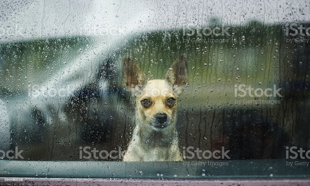 Chihuahua behind car window watching the rain stock photo
