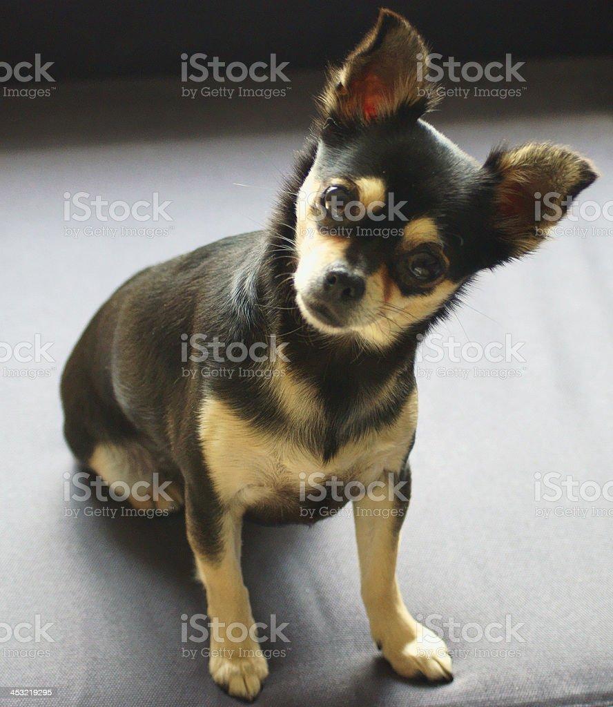 chihuahua black and tan royalty-free stock photo