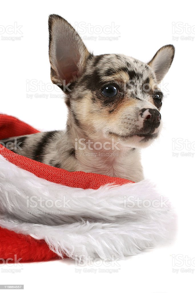 Chihuahua christmas stock photo