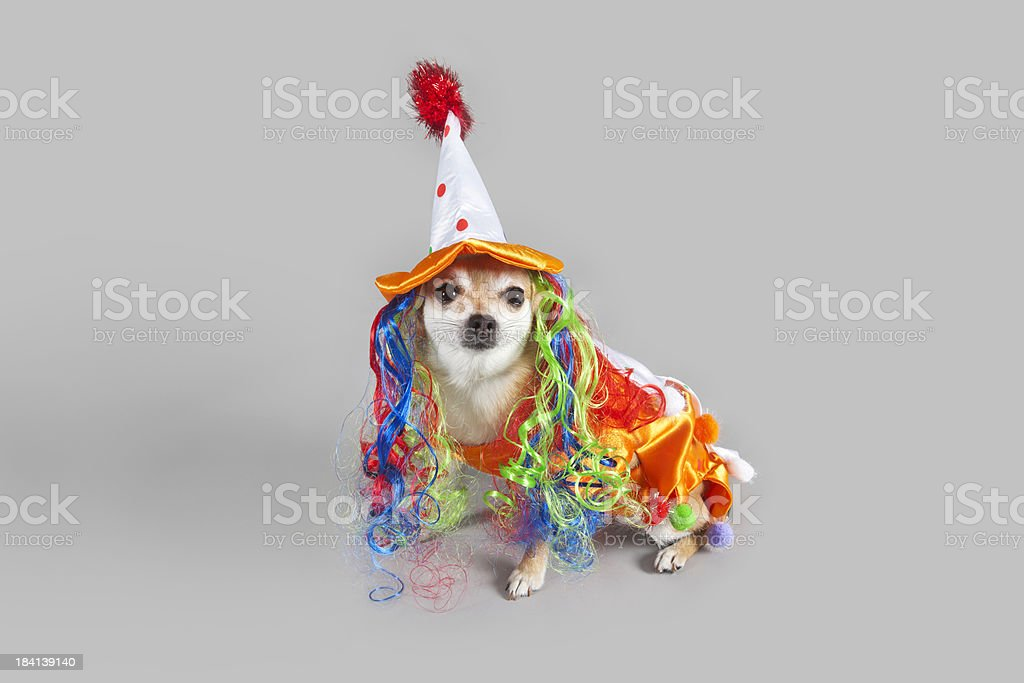 Chihuahua clown dressed for halloween stock photo