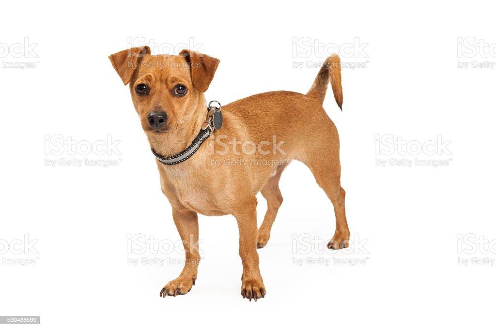 Chihuahua Cross Dog Standing stock photo