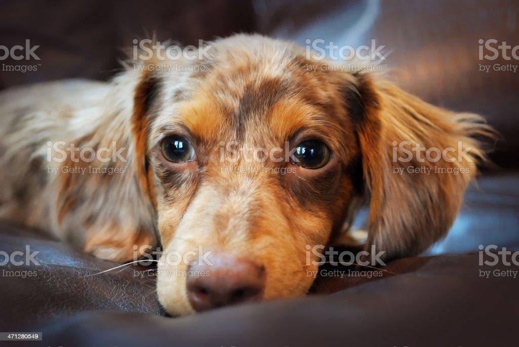 Chihuahua Dachshund Hybrid Dog called Mexican Hotdog or Chiweenie royalty-free stock photo