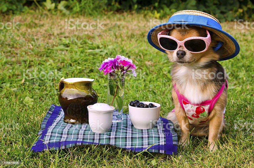 Chihuahua dog at the picnic stock photo