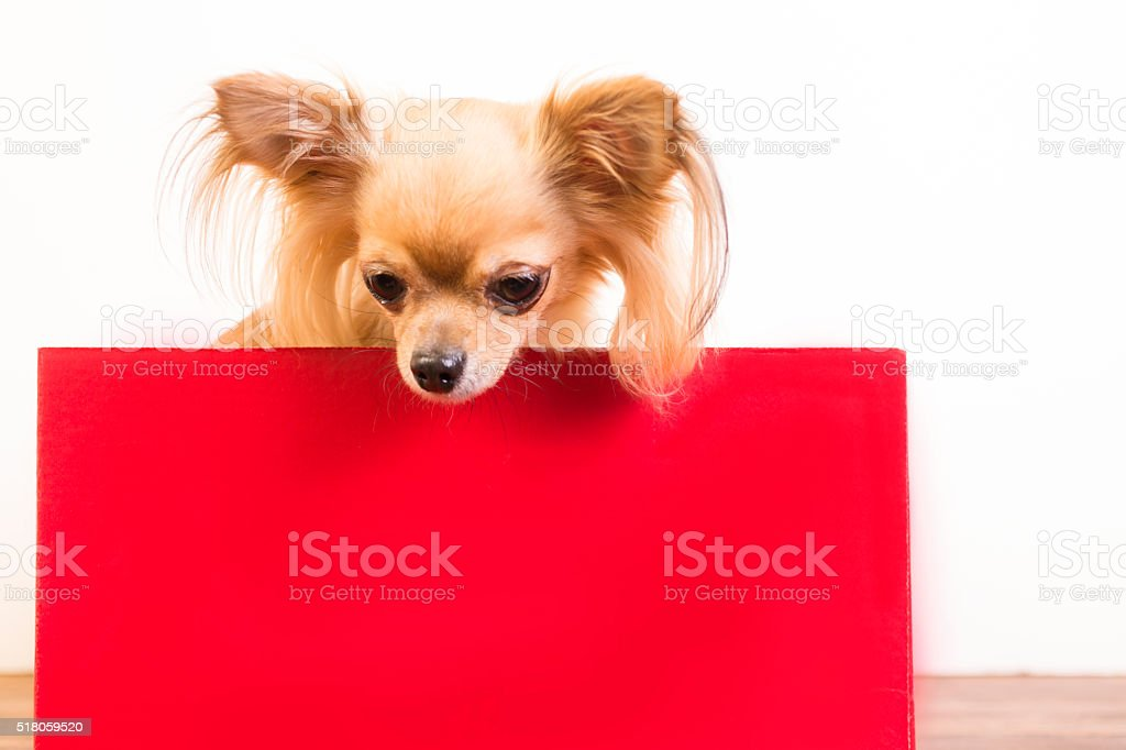 Chihuahua dog behind blank, red sign, message. stock photo