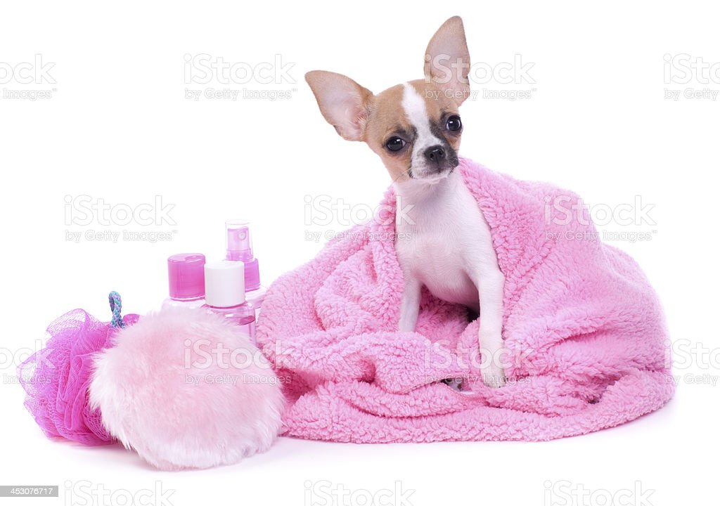 Chihuahua Dog Day at the Spa royalty-free stock photo