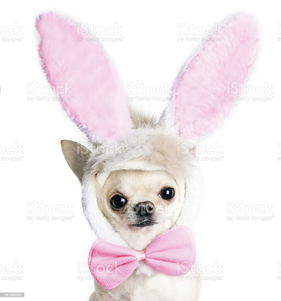 chihuahua dog in a funny costume of an Easter hare stock photo