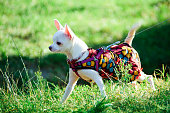 Chihuahua dog in clothes