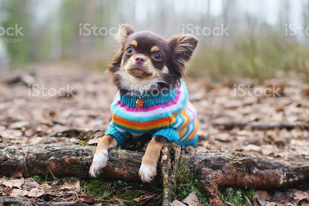 Chihuahua dog in knitted sweater lying down on tree roots stock photo