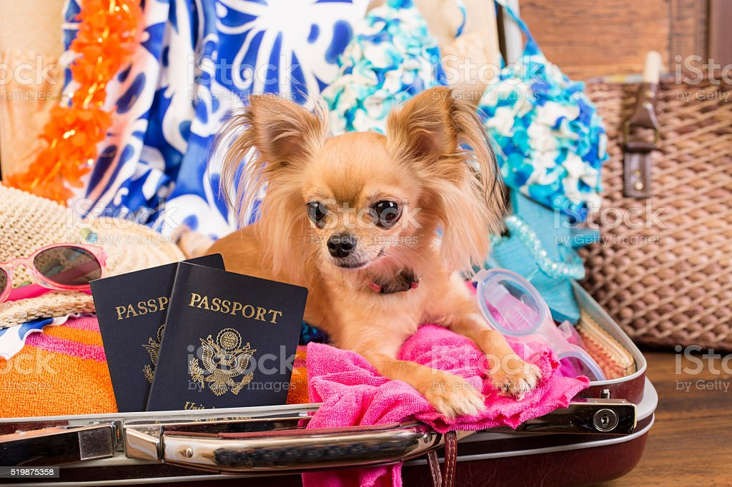 Cute Chihuahua dog inside a suitcase, luggage ready for her tropical...