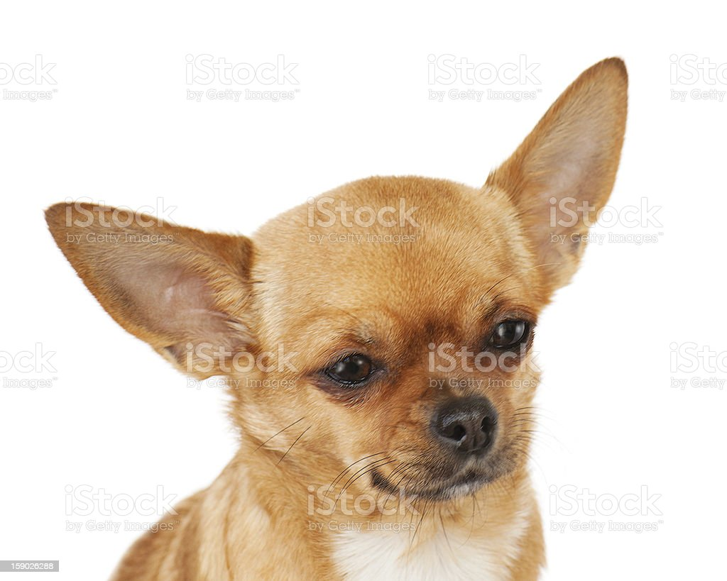 chihuahua dog isolated on white background royalty-free stock photo