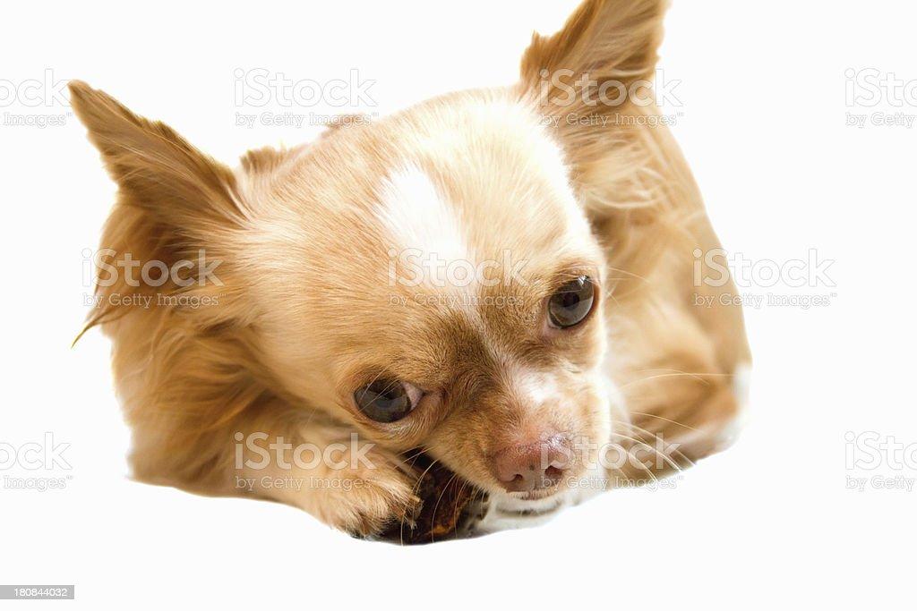Chihuahua dog royalty-free stock photo