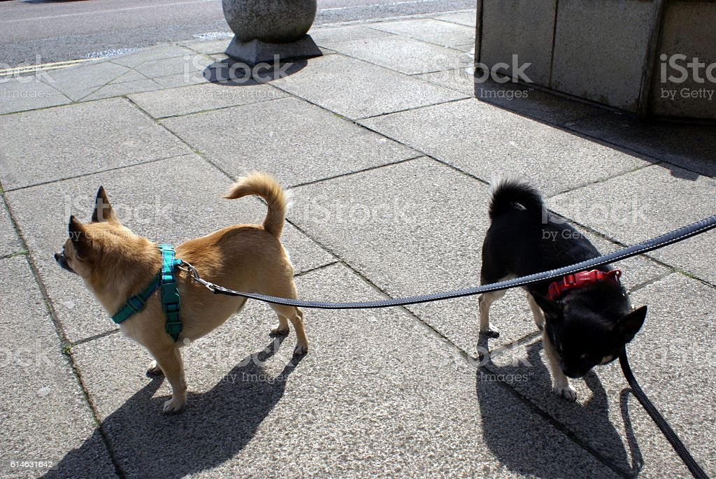 Chihuahua dogs on leads stock photo