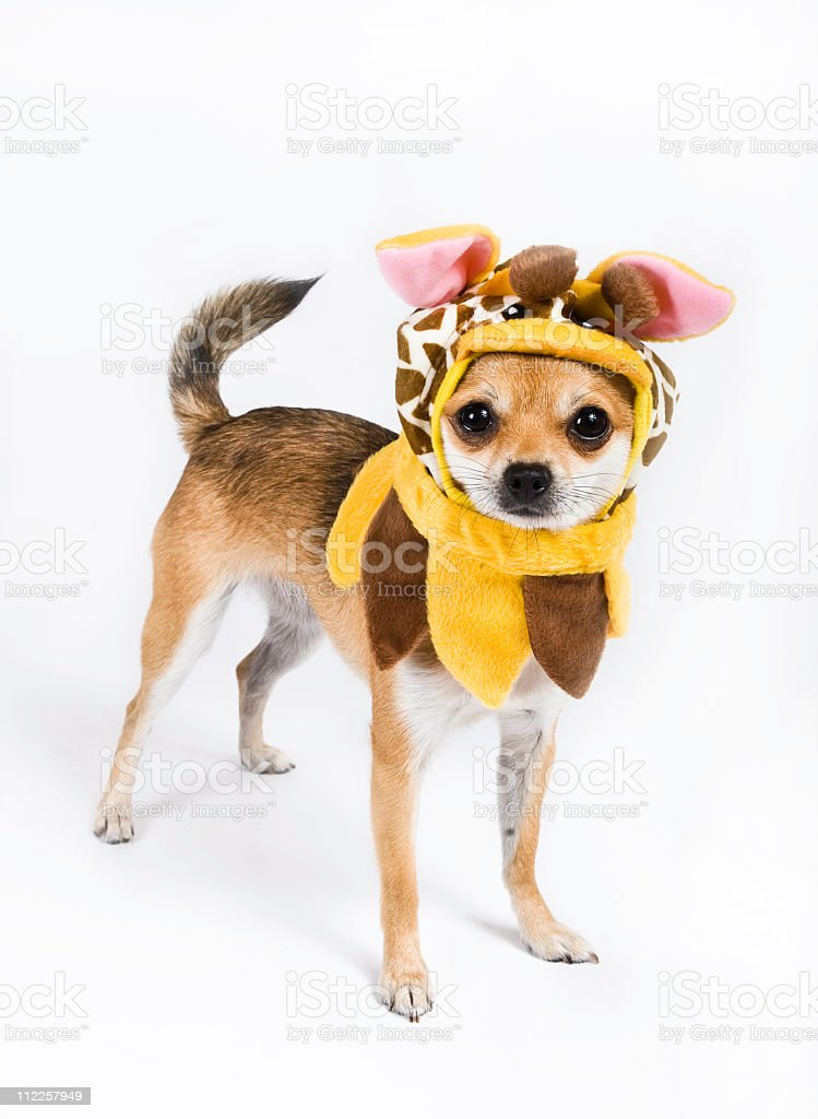 Chihuahua dressed as a giraffe royalty-free stock photo
