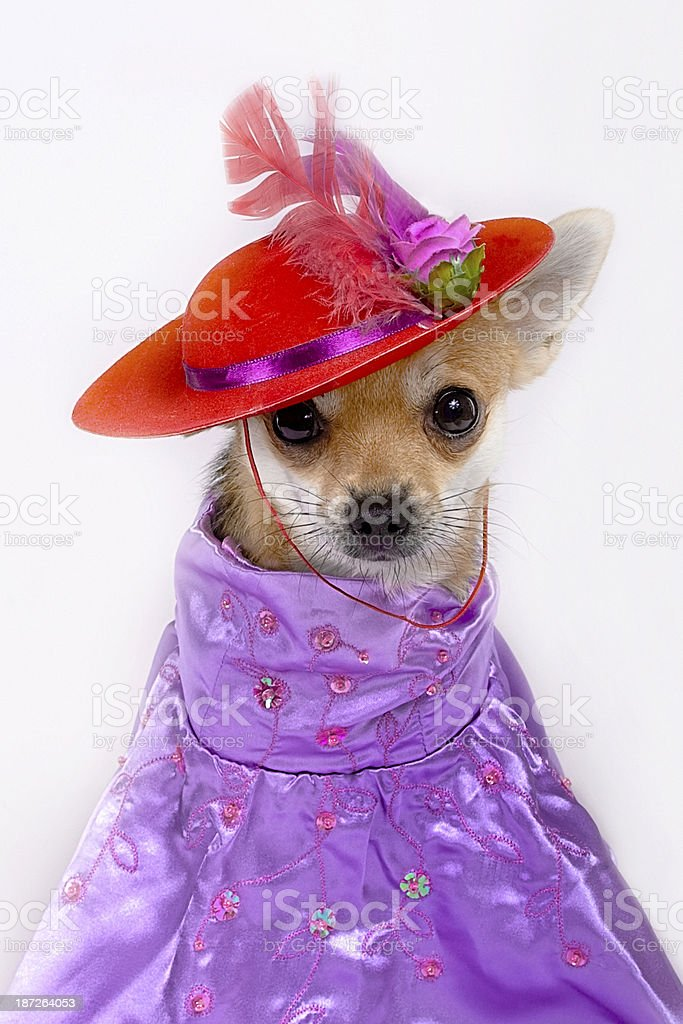 Chihuahua dressed as a Red Hat Lady for Halloween royalty-free stock photo