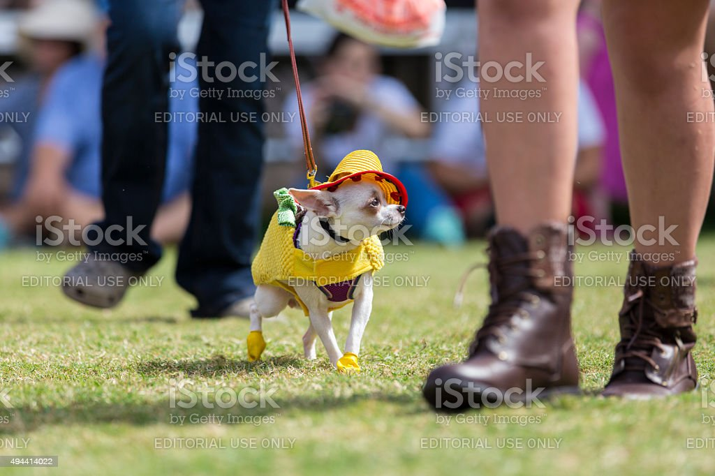 Chihuahua Dressed as a Taco Struts at an Event stock photo