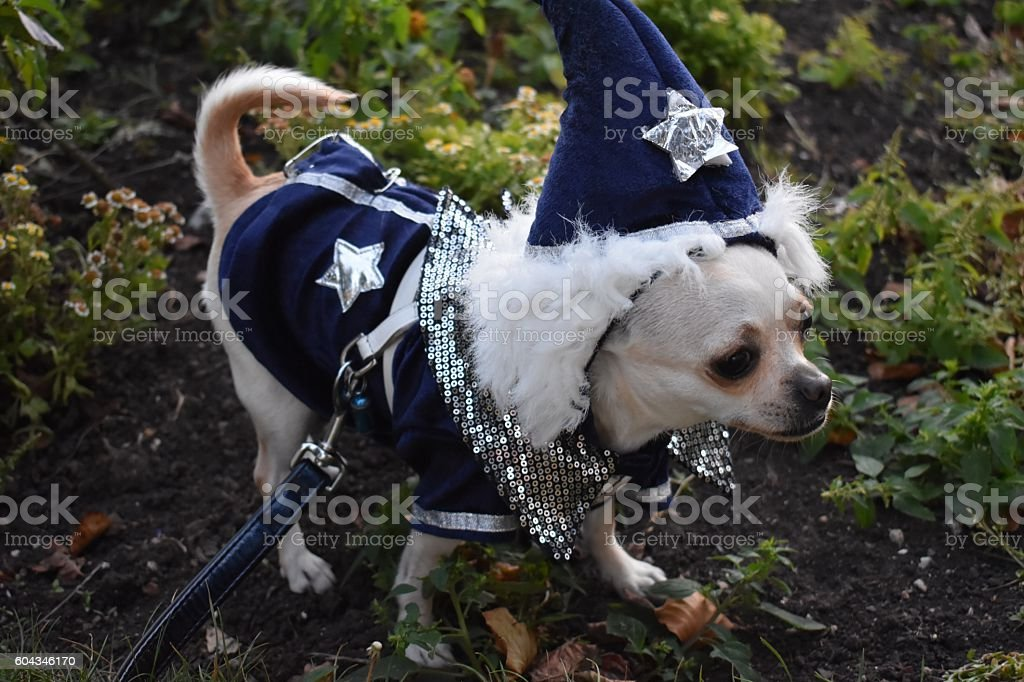 Chihuahua dressed as a wizard in summer stock photo