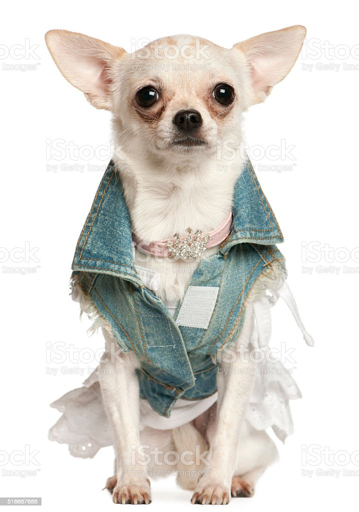 Chihuahua dressed in denim, 10 months old, sitting stock photo