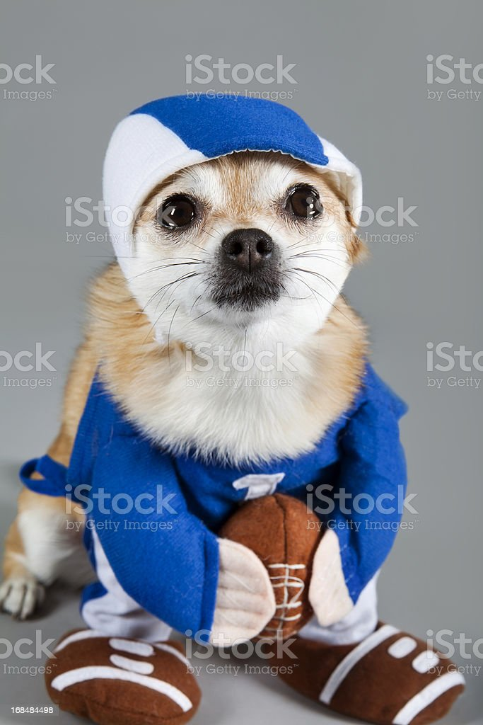 Chihuahua football player halloween royalty-free stock photo