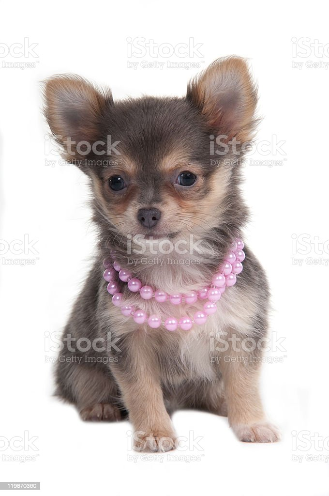 Chihuahua Glamour Puppy royalty-free stock photo