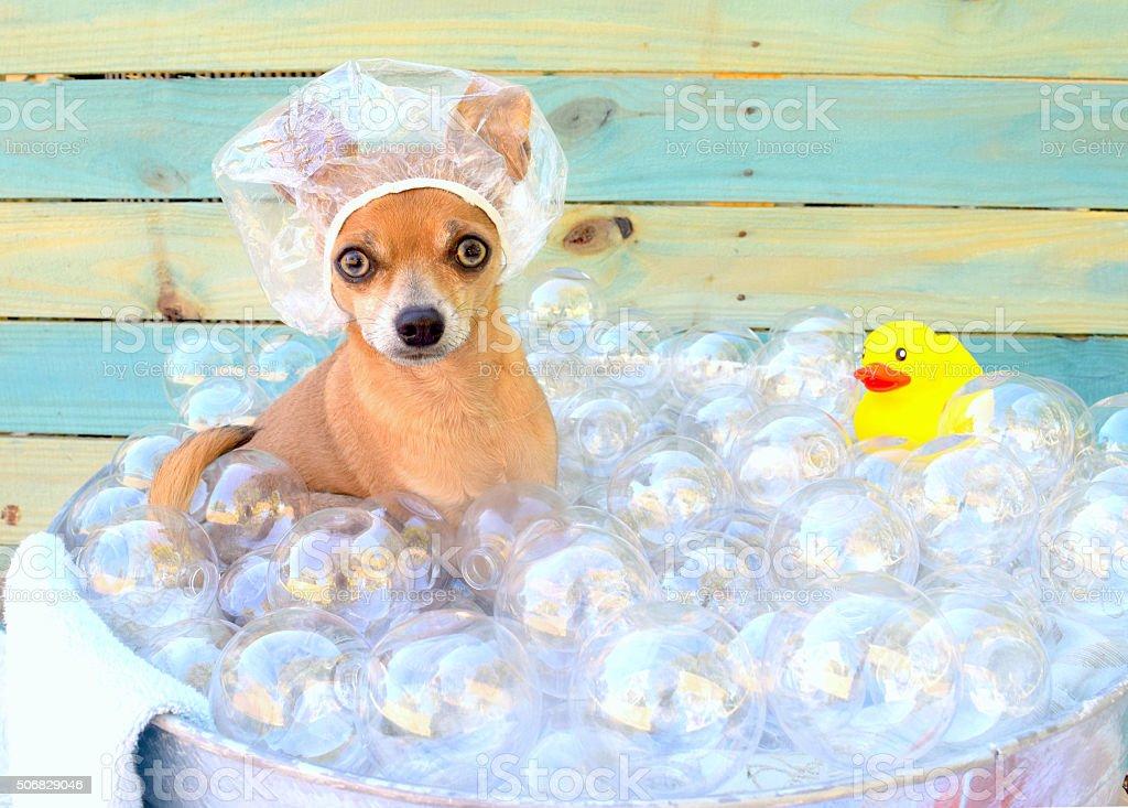 Chihuahua in bathtub. stock photo