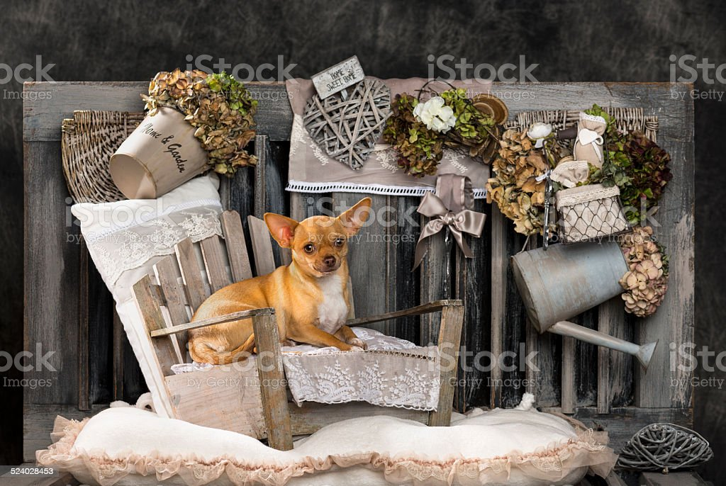 Chihuahua in front of a rustic background stock photo