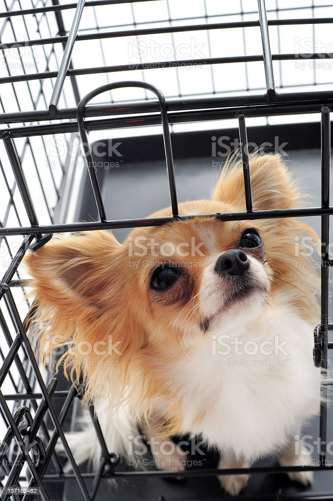 chihuahua in kennel royalty-free stock photo