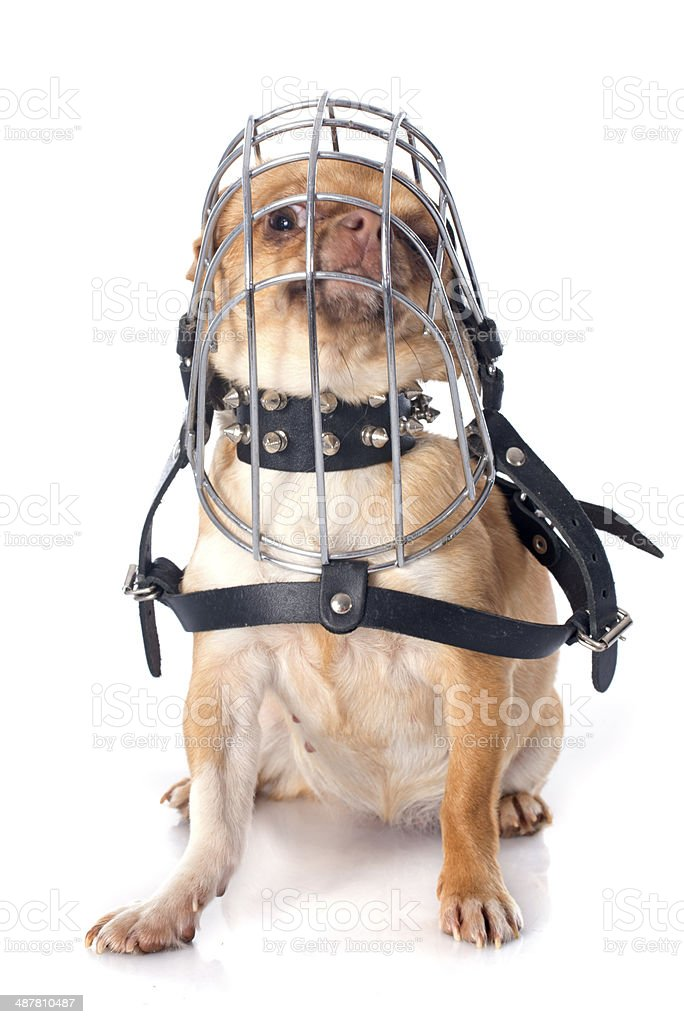chihuahua in muzzle stock photo