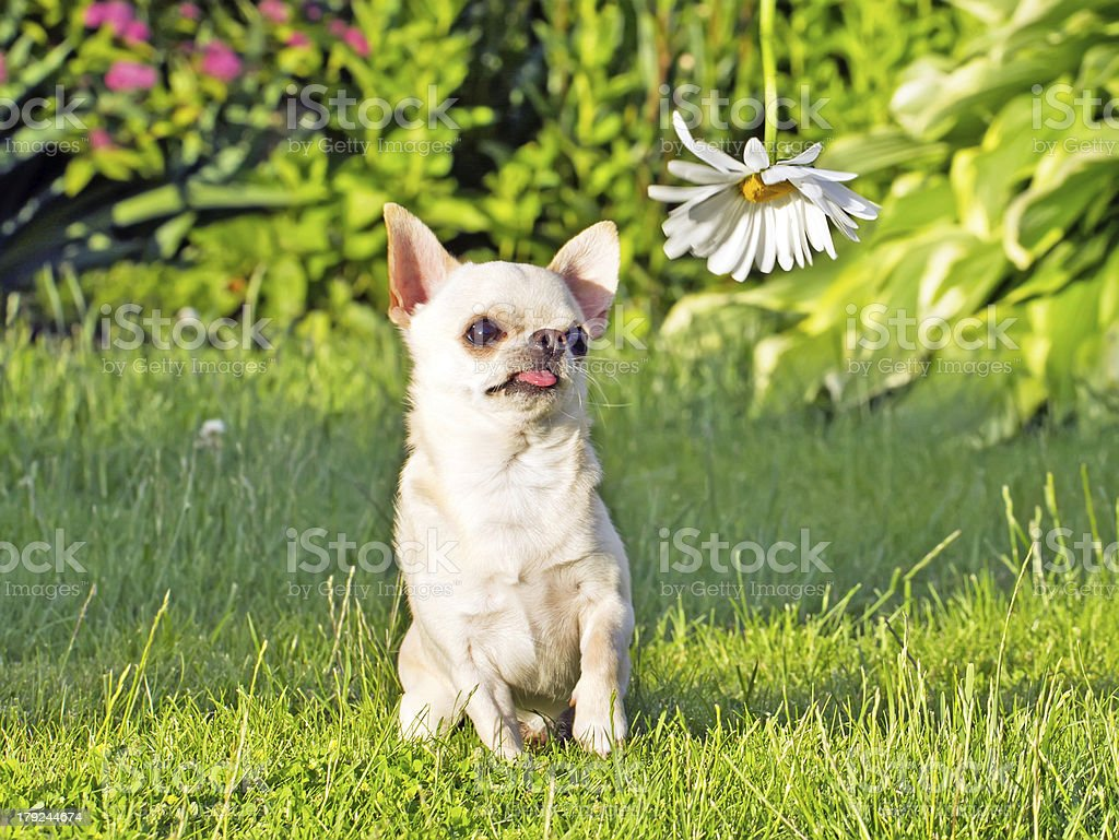 chihuahua in park royalty-free stock photo